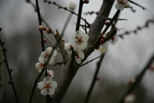春日赏梅_图1-28