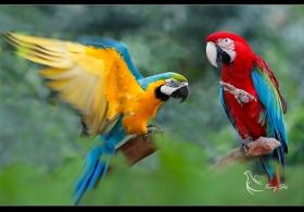 【世和摄影】- 鹦鹉