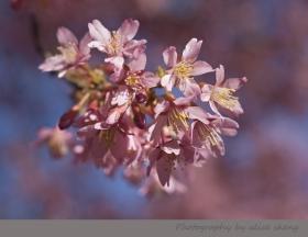 樱花,樱花迎春来