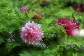 牡丹花开动京城