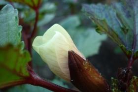 冰清玉洁之秋葵花