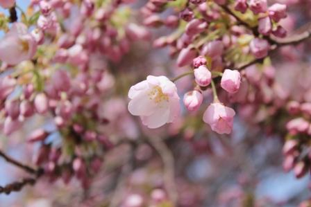 遇见樱花季_图1-5