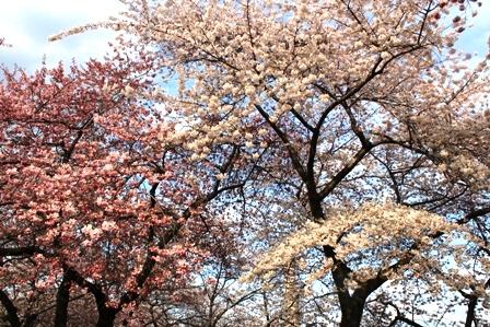 遇见樱花季_图1-9