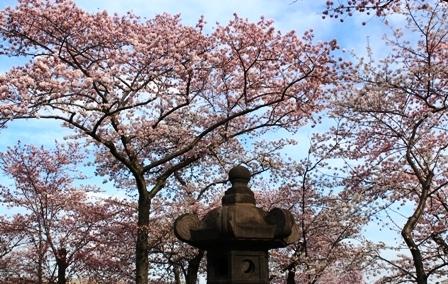 遇见樱花季_图1-11
