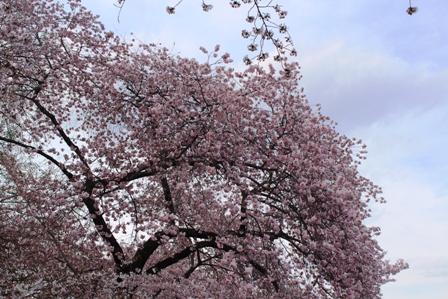 遇见樱花季_图1-13