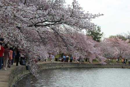 遇见樱花季_图1-14