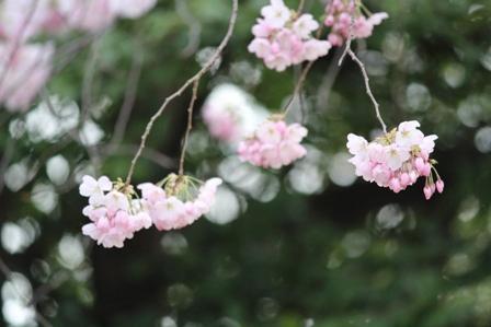 遇见樱花季_图1-18
