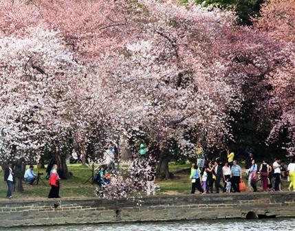 遇见樱花季_图1-22