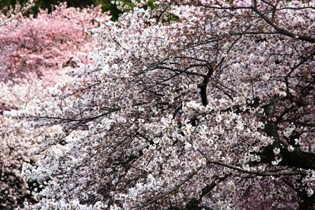 遇见樱花季_图1-25