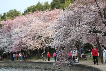 遇见樱花季_图1-26