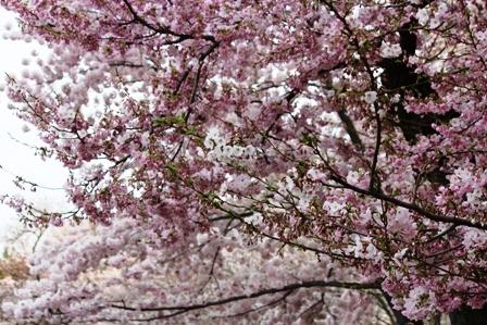 遇见樱花季_图1-29