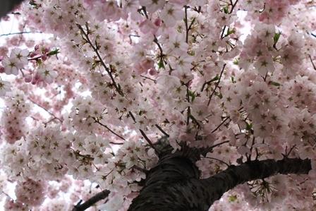 遇见樱花季_图1-30