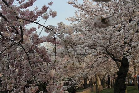 遇见樱花季_图1-32