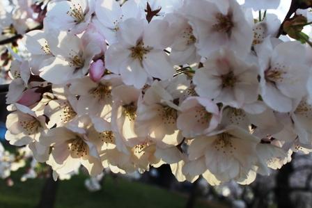 遇见樱花季_图1-33
