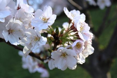 遇见樱花季_图1-35
