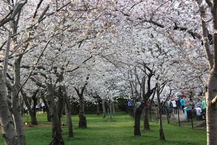 遇见樱花季_图1-36