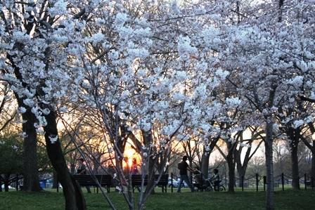 遇见樱花季_图1-39