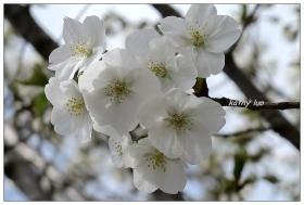 【小虫摄影】纽约的梨花开