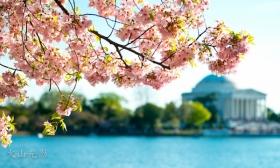 【火山光影】 华盛顿樱花