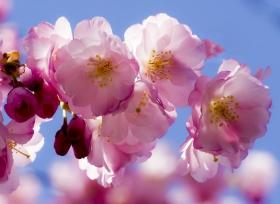 樱花盛开在 皇后区 罗斯福岛