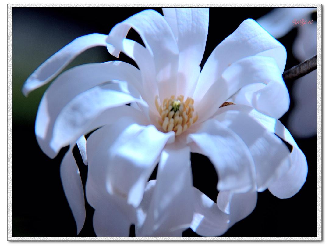 【原創】我家門口的玉蘭與櫻花(攝影)_图1-7