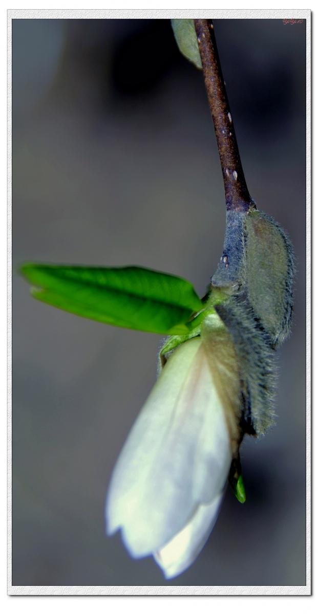 【原創】我家門口的玉蘭與櫻花(攝影)_图1-4