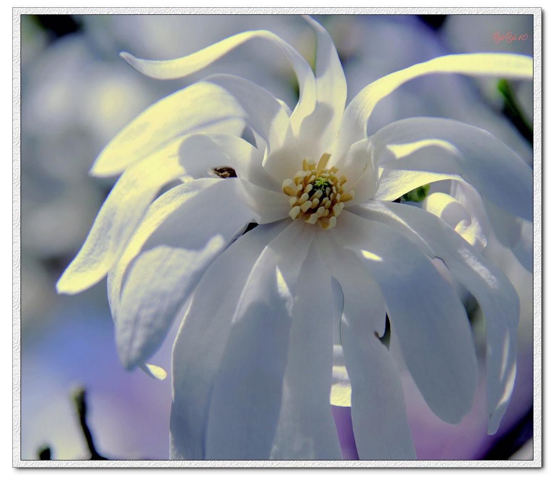 【原創】我家門口的玉蘭與櫻花(攝影)_图1-3