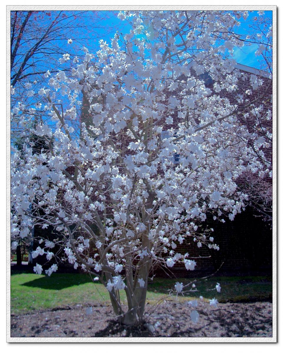 【原創】我家門口的玉蘭與櫻花(攝影)_图1-1