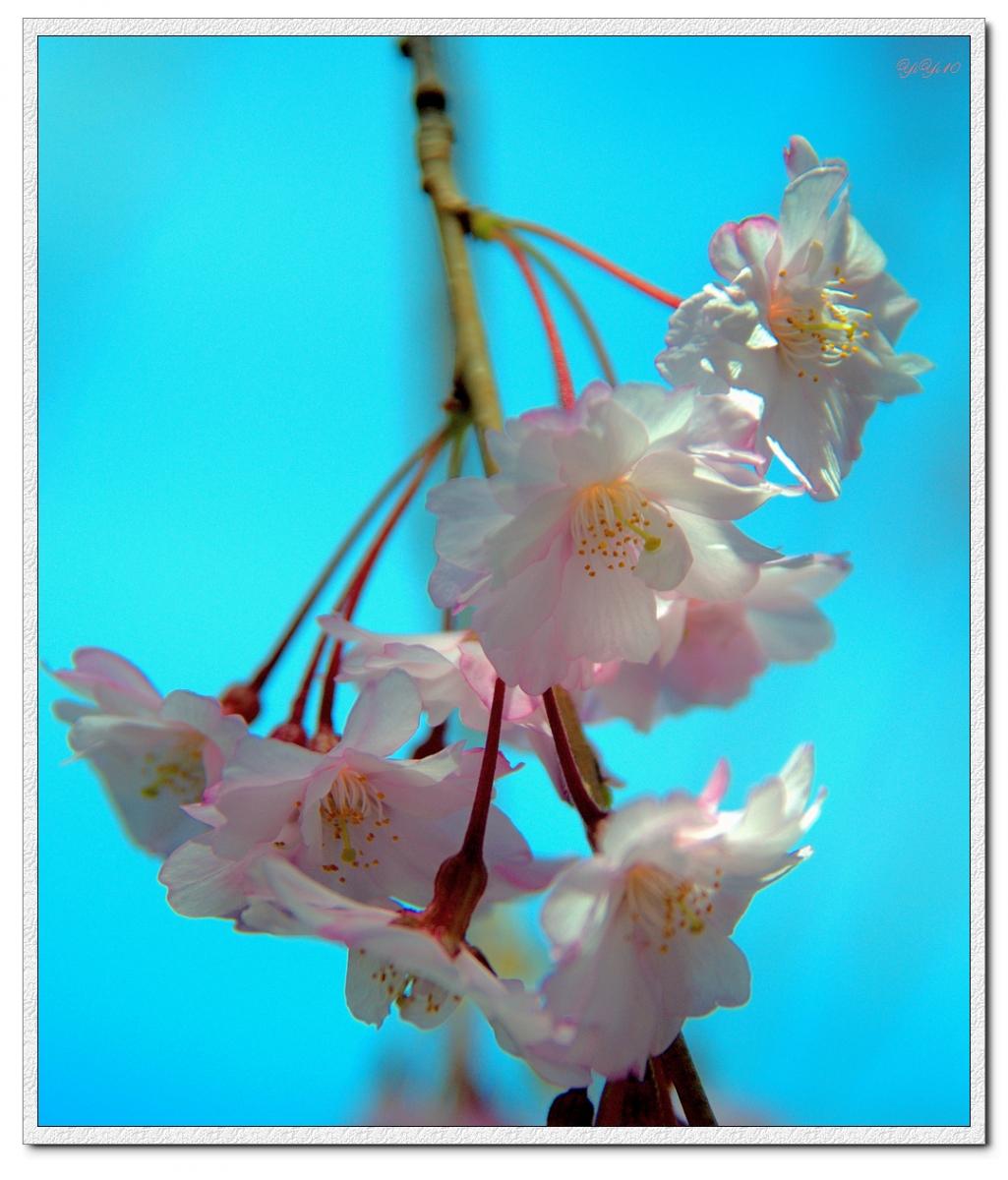 【原創】我家門口的玉蘭與櫻花(攝影)_图1-9
