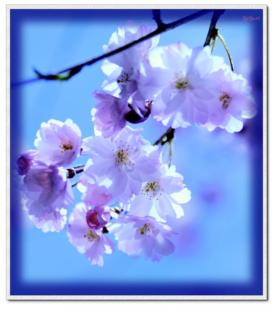 【原創】我家門口的玉蘭與櫻花(攝影)_图1-12