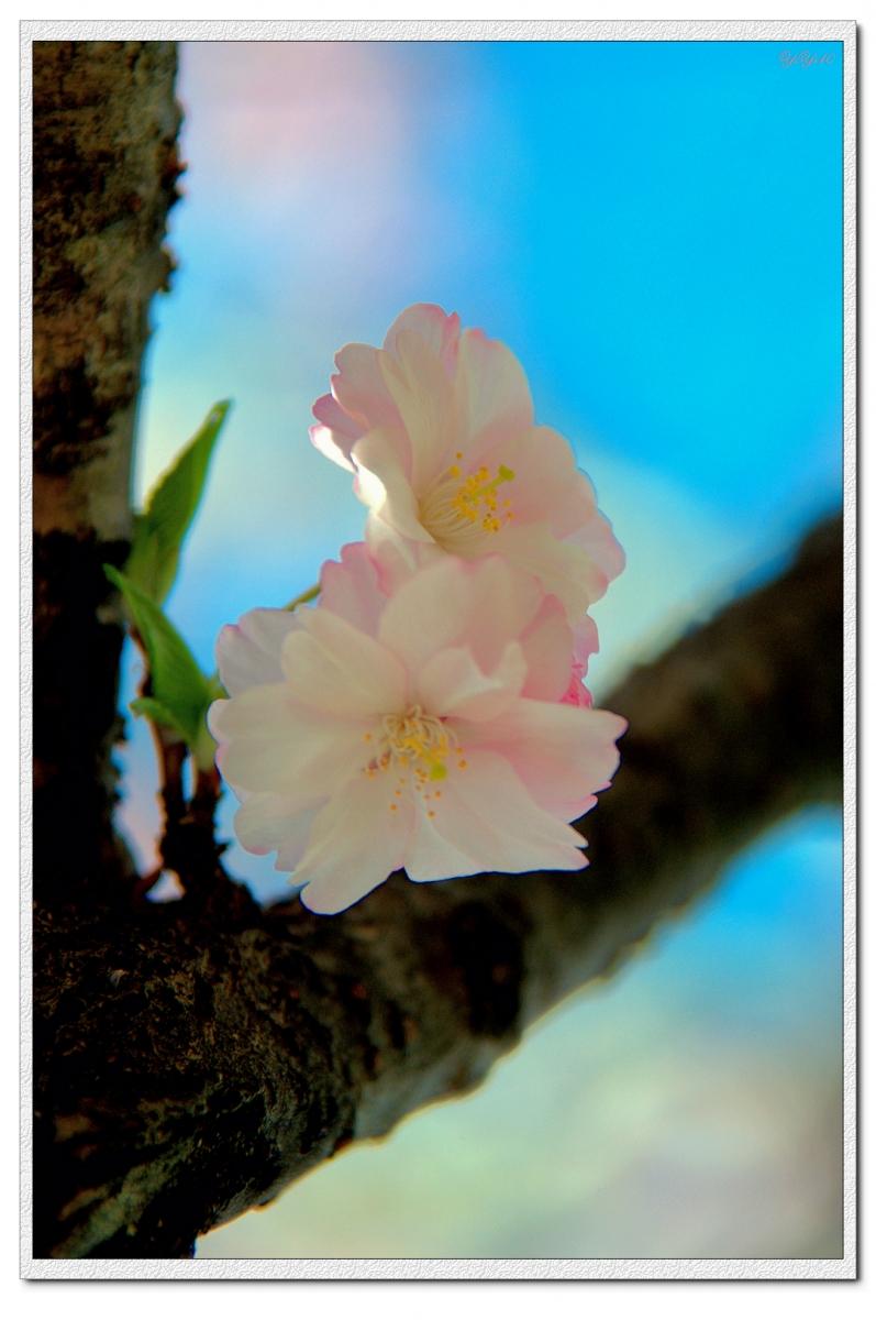 【原創】我家門口的玉蘭與櫻花(攝影)_图1-11
