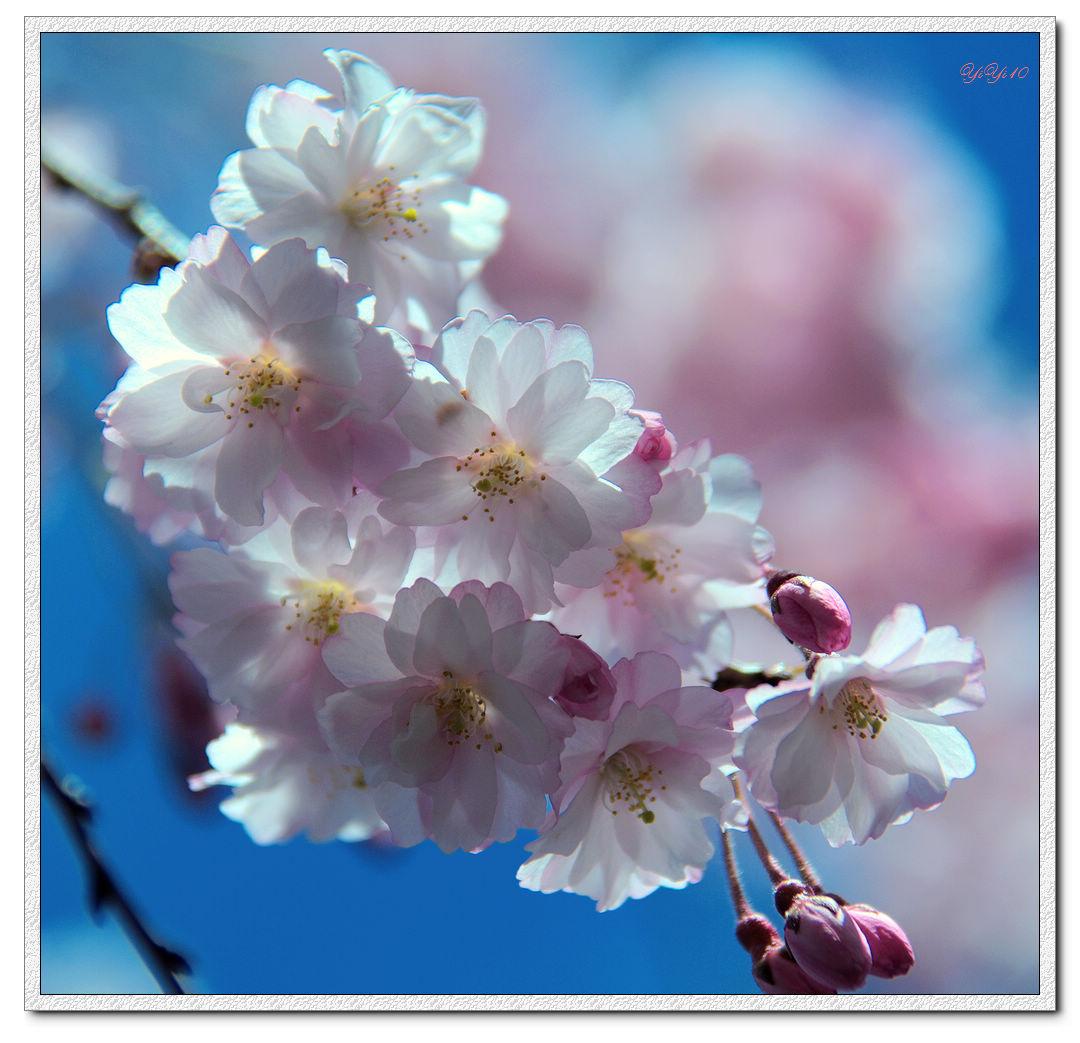【原創】我家門口的玉蘭與櫻花(攝影)_图1-10