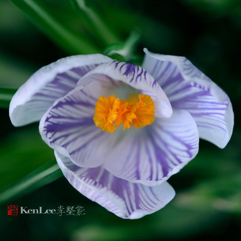 [Ken Lee] 春天的喜悦--番红花_图1-4