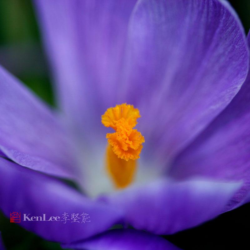 [Ken Lee] 春天的喜悦--番红花_图1-2