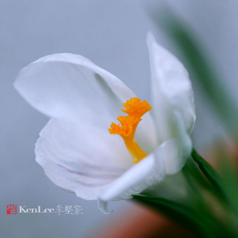 [Ken Lee] 春天的喜悦--番红花_图1-5