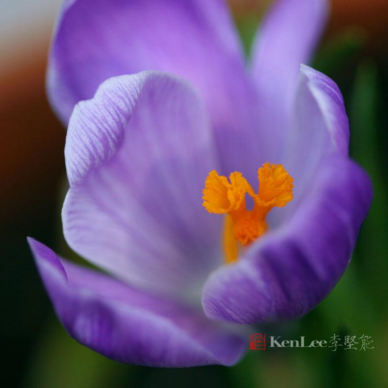 [Ken Lee] 春天的喜悦--番红花_图1-6