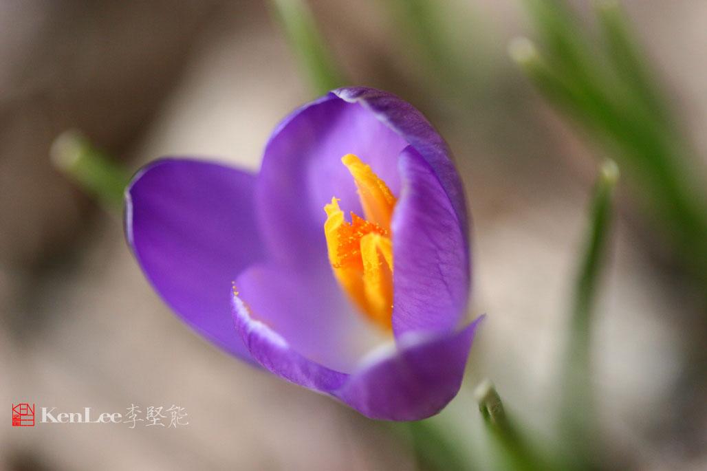 [Ken Lee] 春天的喜悦--番红花_图2-7