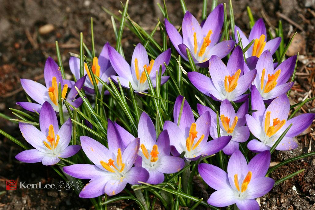 [Ken Lee] 春天的喜悦--番红花_图1-8