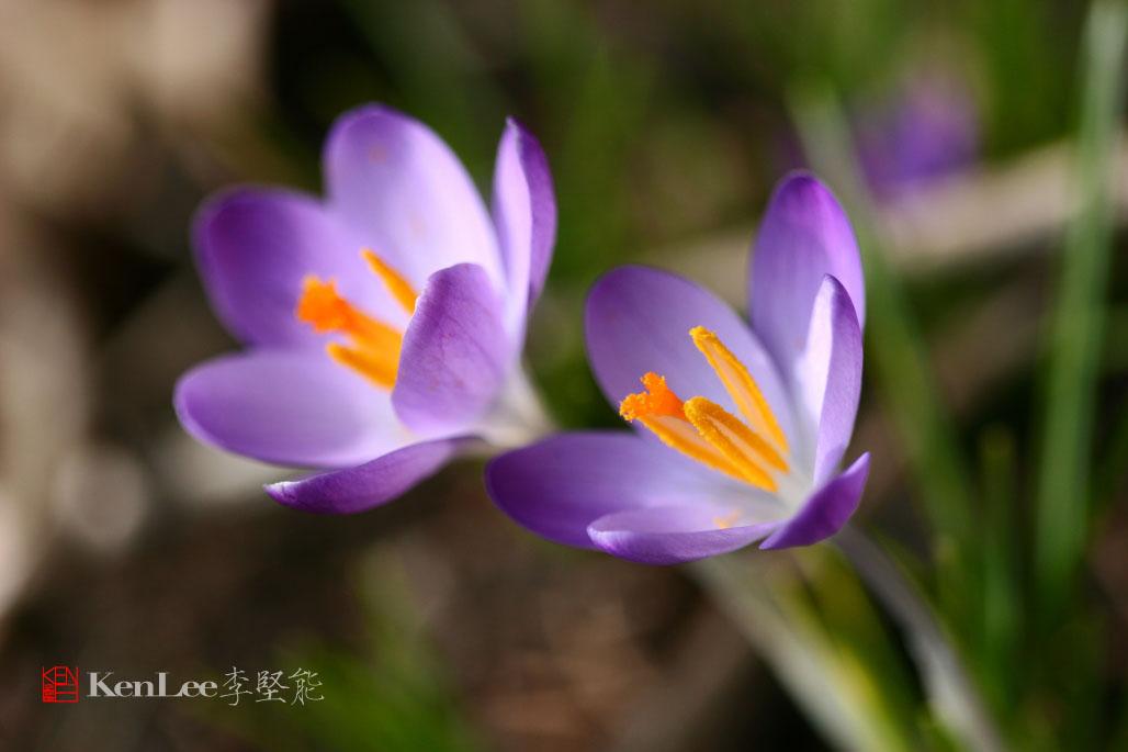 [Ken Lee] 春天的喜悦--番红花_图2-9