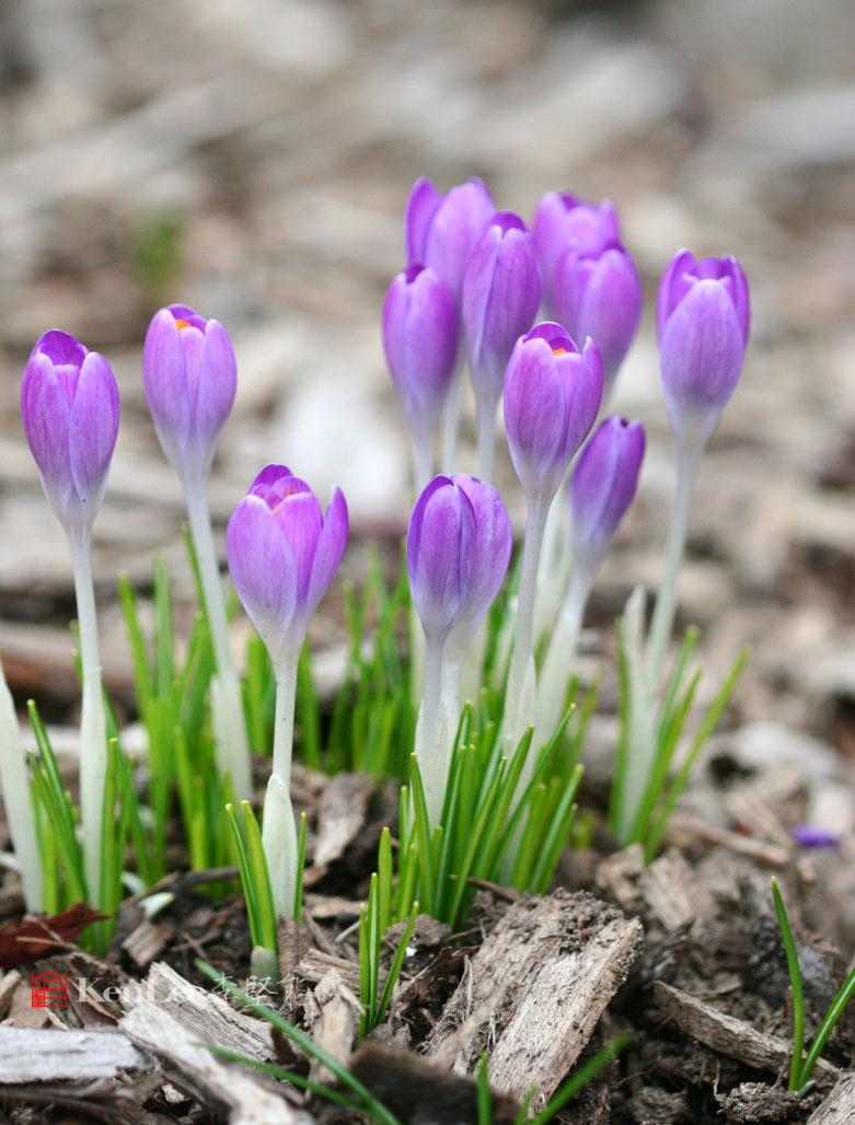 [Ken Lee] 春天的喜悦--番红花_图2-11