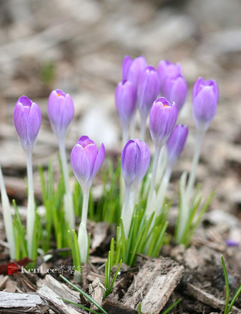 [Ken Lee] 春天的喜悦--番红花_图1-12