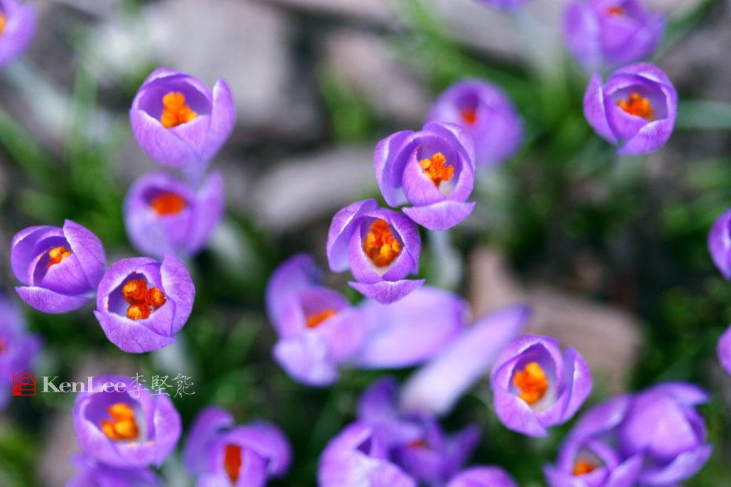 [Ken Lee] 春天的喜悦--番红花_图2-13