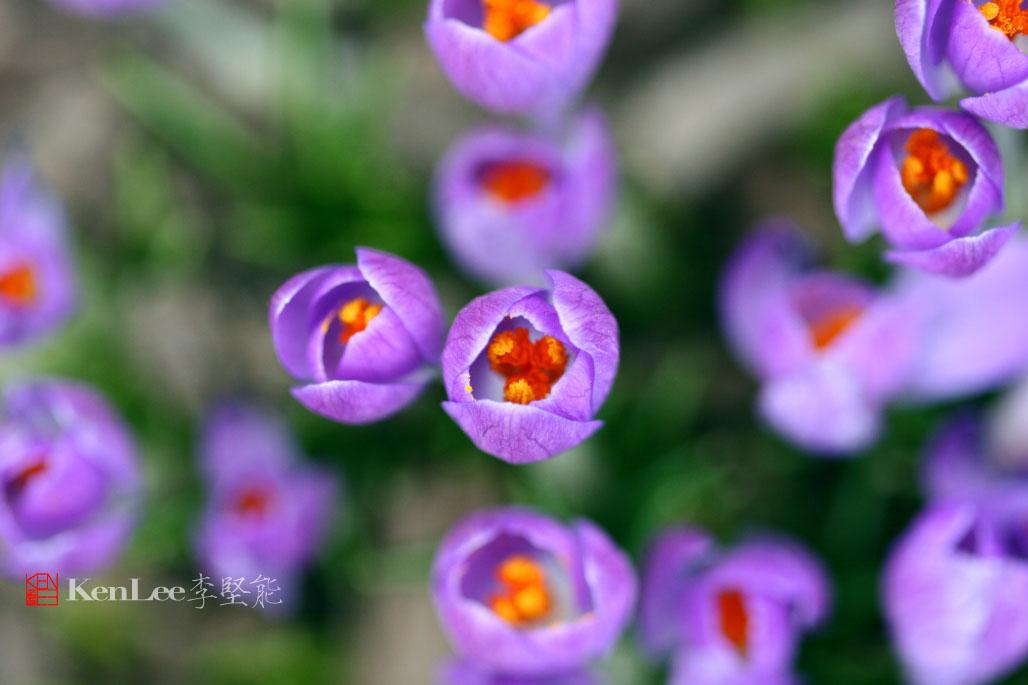 [Ken Lee] 春天的喜悦--番红花_图1-14