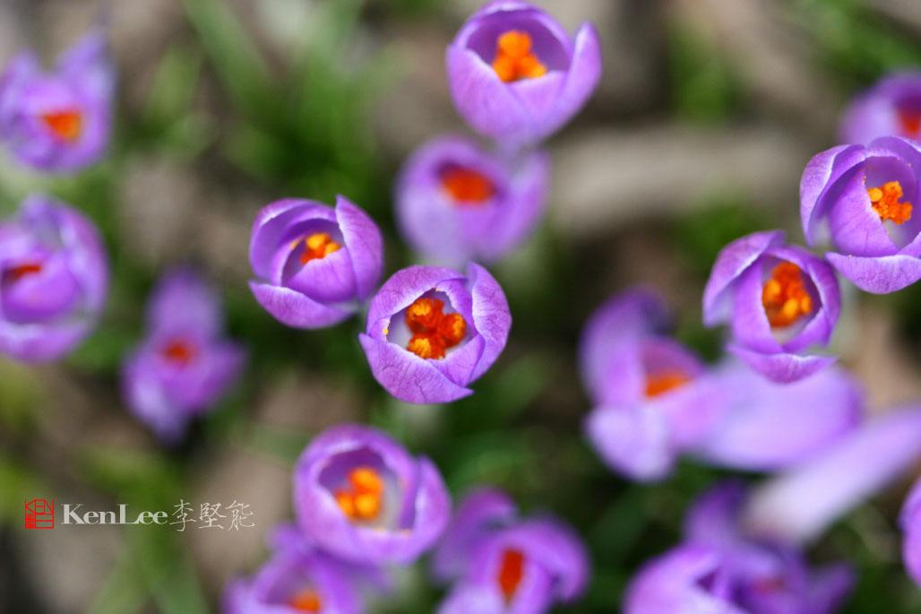 [Ken Lee] 春天的喜悦--番红花_图2-15