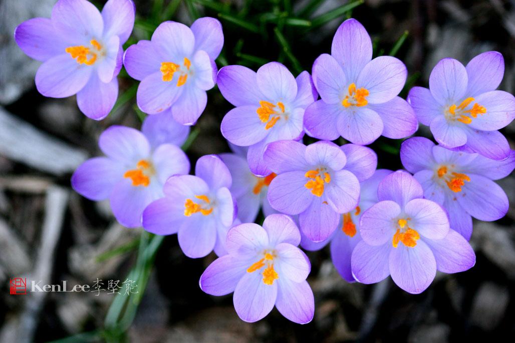 [Ken Lee] 春天的喜悦--番红花_图1-16