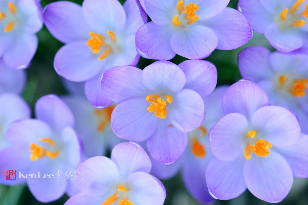 [Ken Lee] 春天的喜悦--番红花_图2-17