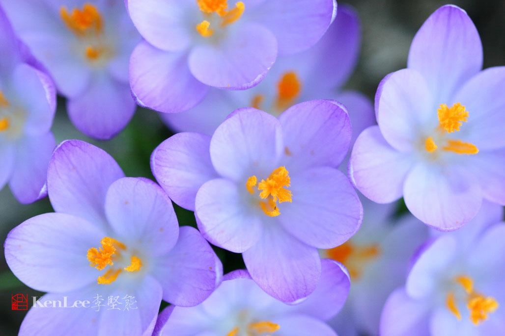 [Ken Lee] 春天的喜悦--番红花_图2-18