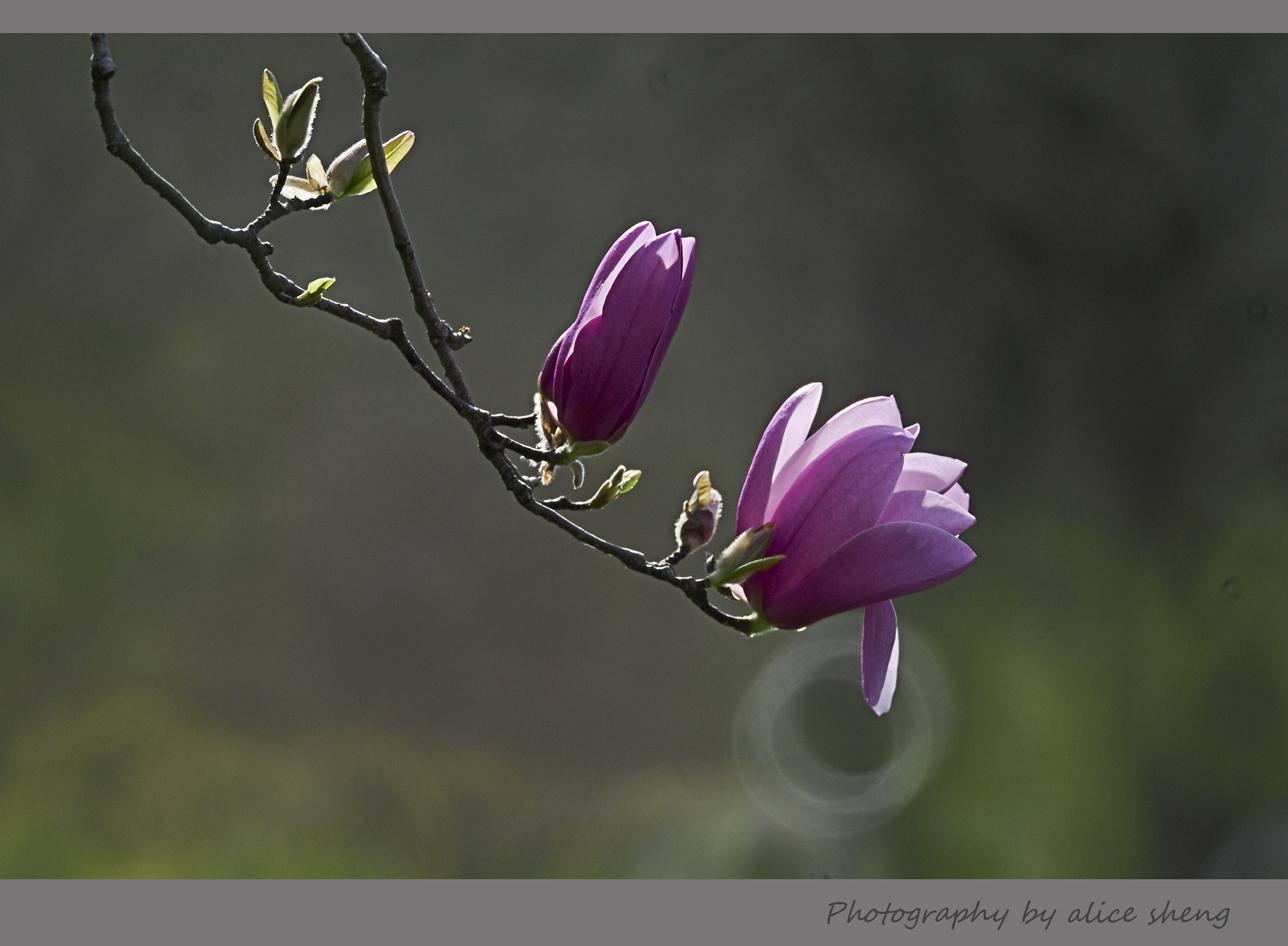 欢笑的春花之二_图1-1