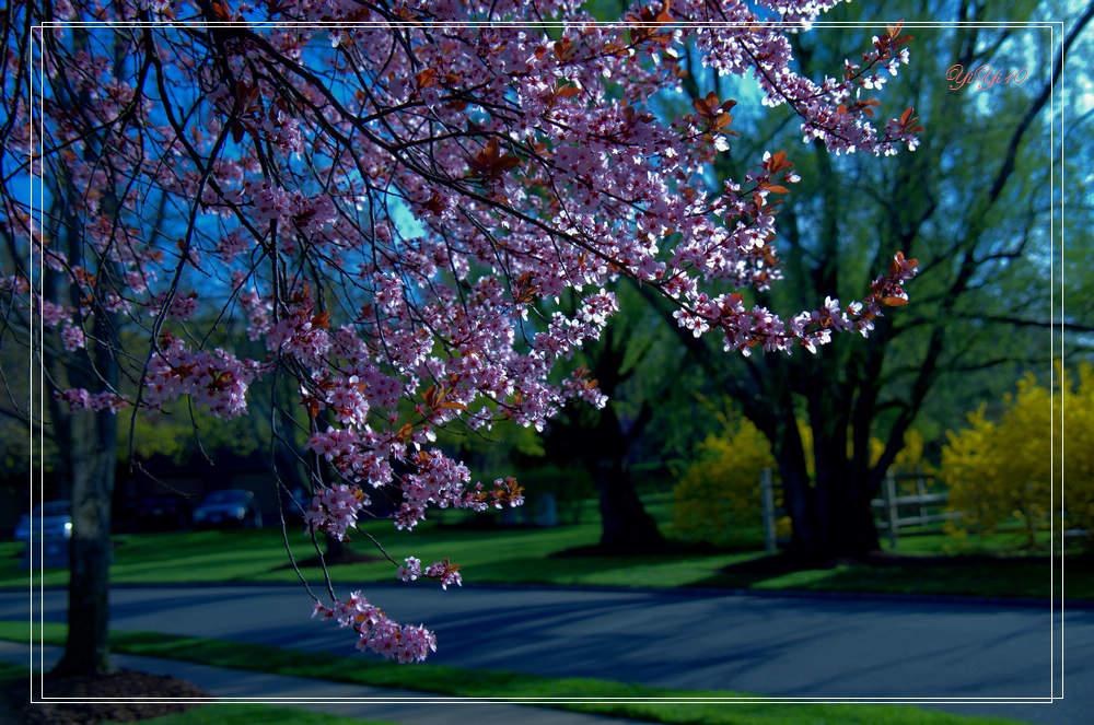 湖邊櫻枝(攝影) - 纽约文摘 - 纽约文摘