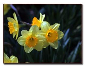 春花选拍-洋水仙